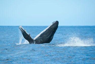 Chaque année, les baleines à bosse viennent s'accoupler et mettre bas dans les eaux de l'océan indien
