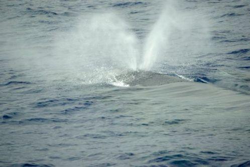 Un auvent de baleine à bosse au large de la Réunion