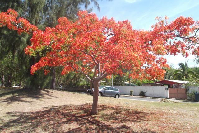 Les flamoyants à la Réunion