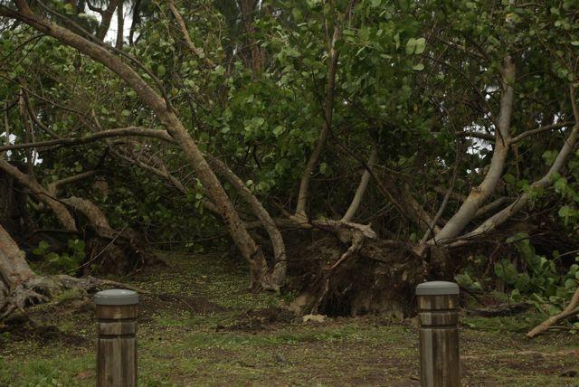 photo-passage-dumile-arbre-deracine