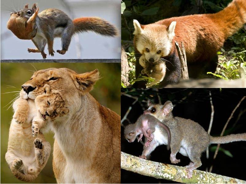 portage-animaux
