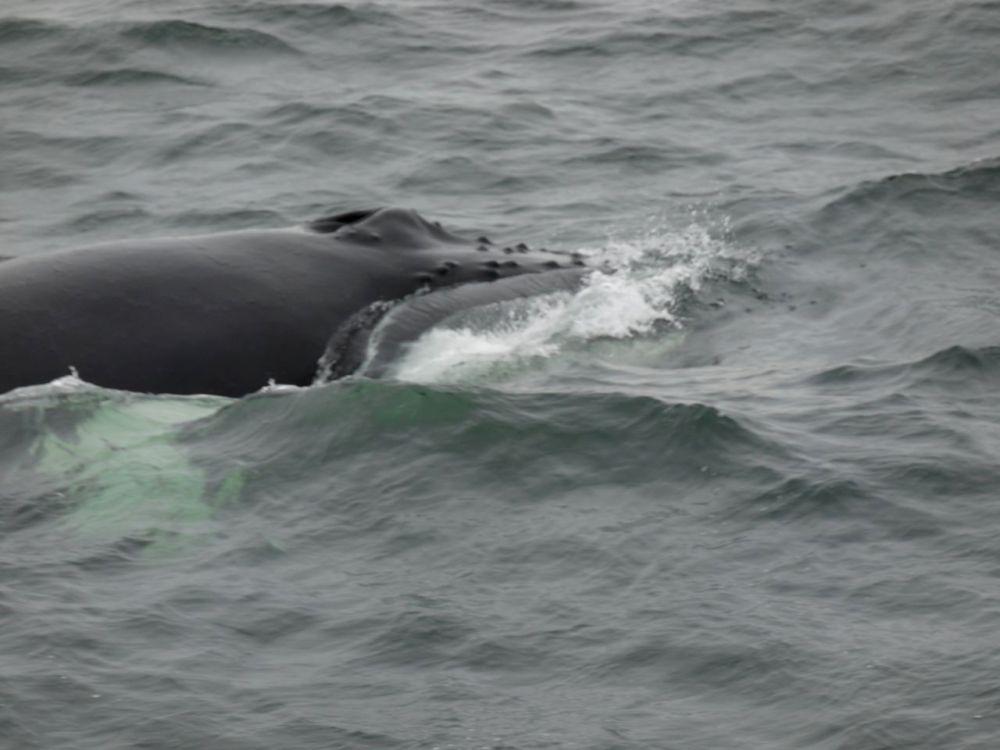 baleines-tadoussac1