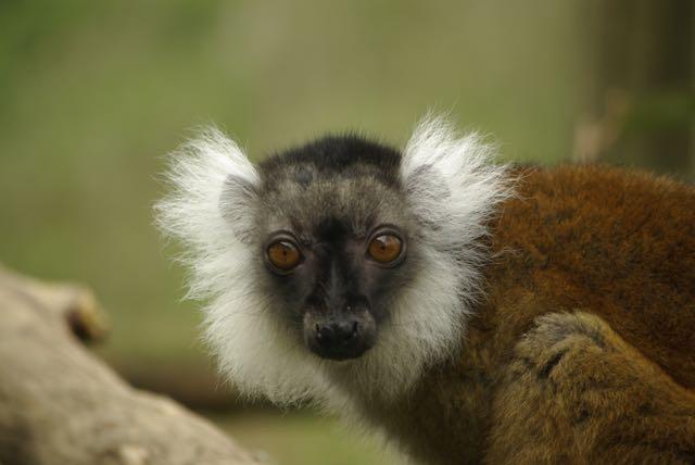 vallee-singes