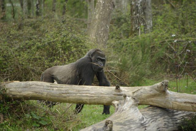 vallee-singes gorille