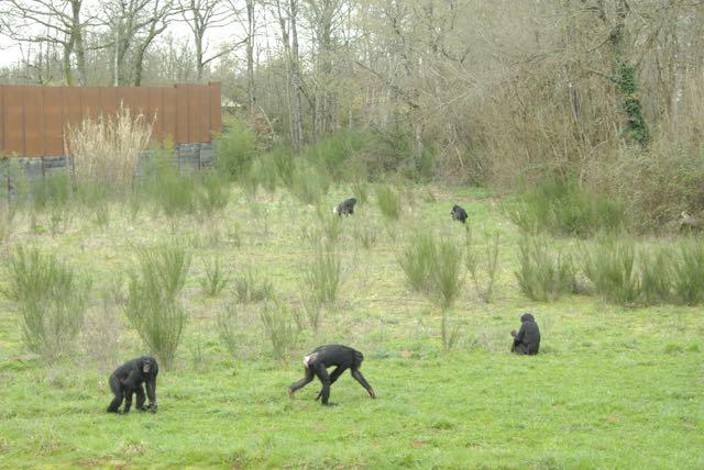 vallee-singes bonobos
