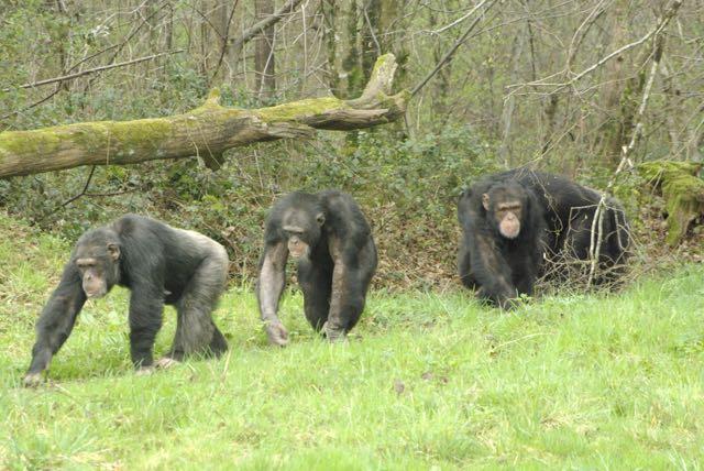 vallee-singes chimpanzés